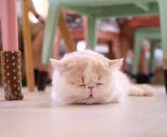 How many hours do cats sleep will depend on age, health and their activity level. All About Cats, Cat Sleeping, Cat Stuff, Activities, Animals, Animales, Animaux, Animal, Animais