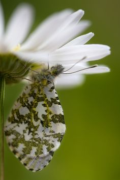 Female Orange tip by Mandy Disher, via 500px
