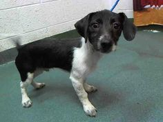 URGENT PUPPY at Miami KILL Shelter - JACK  (A1588815) I am a male black and white Dachshund mix.   The shelter staff think I am about 5 months old.   I was found as a stray and I may be available for adoption on 01/20/2014. — hier: Miami Dade County Animal Services. https://www.facebook.com/photo.php?fbid=706101492757590&set=a.470960256271716.114441.191859757515102&type=3&theater