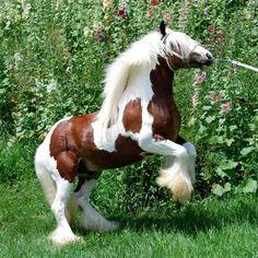 Westmoreland Gypsy Horse