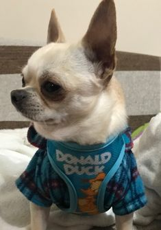 White Chihuahua, Rat Terriers, My Forever, Chihuahuas, Puppy Love, Fur Babies, Dogs And Puppies, French Bulldog, Mom