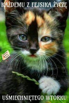 If you're looking for Free Maine Coon Kittens for adoption we've written some tips on how to find Free Maine Coon Cats and where to look for them. Beautiful Kittens, Cute Cats And Kittens, Pretty Cats, Baby Cats, Cool Cats, Kittens Cutest, Animals Beautiful, Ragdoll Kittens, Bengal Cats
