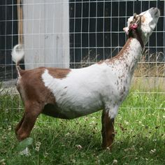 Here, our goat Puddin' is showing off what fish tail looks like