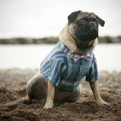 pug in a bowtie