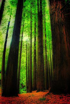 we went to the red wood forest in California it was amazing