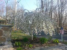Garden - weeping cherry tree.