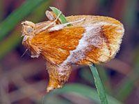 Moths of Northern Virginia