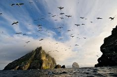 Gannets flying out from Boreray, St. Kilda, Scotland by JC Richardson, via Flickr