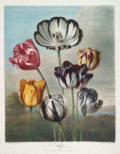 A group of tulips. (1807)   Earlom, Richard, 1743-1822 -- Engraver  Thornton, Robert John, 1765 - 1832 -- Author