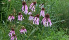 Echinacea pallinda in the Woodland Walk and Bird Habitat