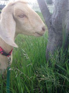 Our beautiful nubian doe! Soon to kid!!