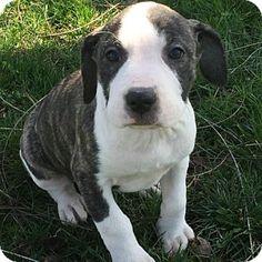 Columbia, MD - Boxer/American Bulldog Mix. Meet Gretl Von Trapp, a puppy for adoption. http://www.adoptapet.com/pet/15269092-columbia-maryland-boxer-mix