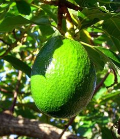Avocado produces a rich oil that penetrates dry skin and helps the healing process of scar tissue.