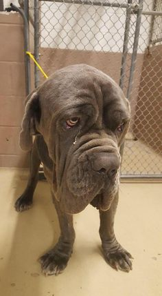 04/20/16-SUPER URGENT - HOUSTON - HIGH KILL FACILITY - Friends of CountyPets · This poor fellow was surrendered to the shelter today by his owner. He has a thin body condition and an abdomen full of fluid with some edema of the extremities. He also has a significant heart murmur. From just looking at him, it seems that he has a cardiac issue. He is supposedly only one and a half years old and he is very very sweet. POLO - ID#A457162 My name is POLO I am a male, brown merle and wh