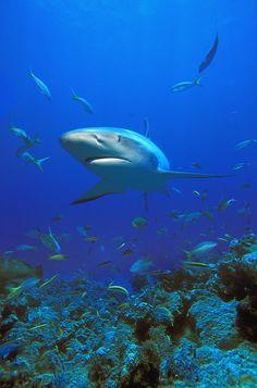Caribbean Reef Shark by Carson Ganci