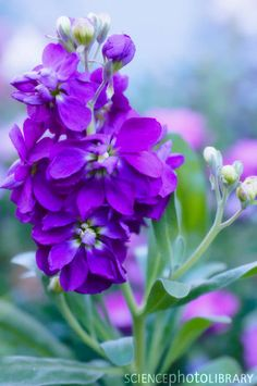 Stocks (Matthiola incana) -- want to try this as an annual. List Of Flowers, Wild Flowers, Purple Flowers, Flower Names, My Flower, Stock Flower, Flower Identification, Botanical Flowers, Flower Pictures