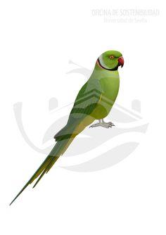 COTORRA DE KRAMER. Ave medianamente grande, la mayor de todos los psitácidos introducidos en la Península Ibérica. La tonalidad generalizada es de un verde vivo homogéneo, sin fuertes contrastes con el resto del cuerpo, salvo por el color del pico, de color rojo intenso.