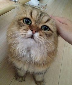 Foo-Chan isn't a real worrywart, though. He is actually a 3-year-old Golden Chinchilla Persian living in Japan that just happens to have a strong brow.  Credit: foochan0711/twitter