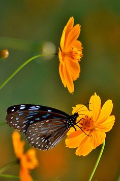~~ Butterfly and flowers by Biswajit_Dey~~