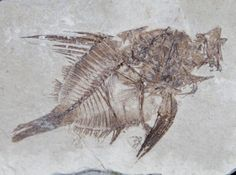 Capros Fish Fossil With Aspiration!!! - Died Eating  Just added for sale at Fossil Era