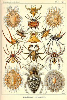 Arachnids, from Kunst-Formen der Natur, by Ernst Haeckel, Germany naturalist and artist. Ernst Haeckel, Natural Form Art, Spider Art, Spider Drawing, Science Illustration, Illustration Plate, Beautiful Bugs, Beautiful Drawings, Nature Drawing