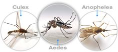 Types of #Mosquitoes and How They Affect Us? #AnophelesMosquito #AedesMosquito…