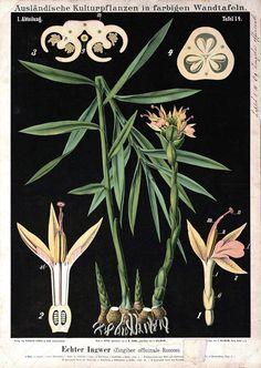 botanical-educational-plate-black-zingiber-officinale-roscoe.jpg (1125×1584)