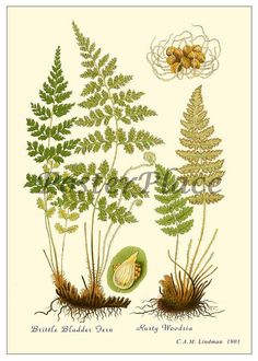 Brittle Bladder Fern antique botanical print by PosterPlace, $3.95
