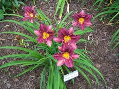 Photo of Daylily (Hemerocallis 'Purple De Oro') uploaded by petruske