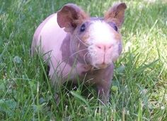 Community Post: Skinny Pigs Make Everyone's Day Better