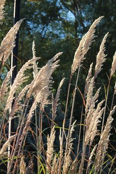 Plumes on great grass for the Ornamental Grasses, Plants, Ravenna, Feather, Planters, Plant, Planting