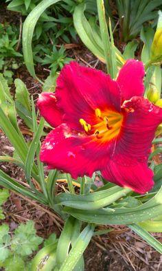 July 14: Hemerocallis 'Show Girl' (daylily)