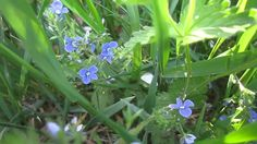Весна. Вероника Дубравная. Май (Spring. May. Herbs. Wildflowers)