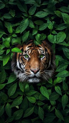 The Tea On The Royals With A Side Of Cute Animals, Beautiful Destinations, Delicious Recipes And Tiger Wallpaper Iphone, Wild Animal Wallpaper, Cat Wallpaper, Nature Wallpaper, Wallpaper Backgrounds, Iphone Wallpapers, Pretty Wallpapers, Phone Backgrounds, Beautiful Wallpaper