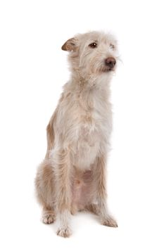 Meet the Portugese Podengo, a primitive hunting breed from Portugal making its debut at the National Dog Show this Thanksgiving!