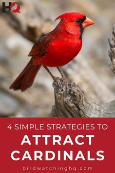 4 Simple Strategies To Attract Cardinals To Your Feeders! These proven strategies will bring cardinals to your bird feeders! Cardinals love these bird feeders and bird food. Welcome cardinals to your back yard! Cardinals, Best Bird Feeders, Cardinal Birds, How To Attract Birds, Bird Food, Backyard Birds, Colorful Birds, Exotic Birds, Little Birds