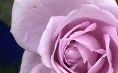 Rose wallpaper macro