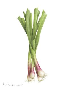 Aquarelle Vincent Jeannerot Plus Watercolor Fruit, Watercolor Flowers, Watercolor Paintings, Watercolour, Vegetable Illustration, Plant Illustration, Botanical Drawings, Botanical Prints, Onion Drawing