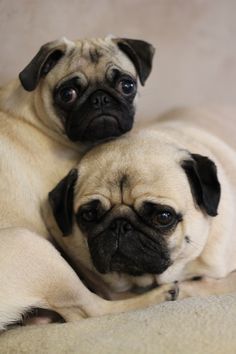Mugsy and Toph. Pug family portrait.