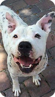 Orlando, FL - American Bulldog Mix. Meet MAGGIE-LS, a dog for adoption. http://www.adoptapet.com/pet/14114295-orlando-florida-american-bulldog-mix