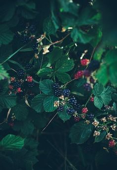 forest to fork; tangy blackberry tart - get the ice cream ready