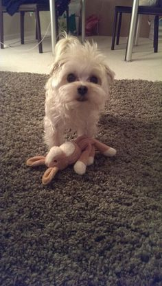White morkie milo wanting to play. #dog #cute