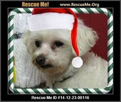 Rescue Me ID: 14-12-23-00116Fannie (female)  Maltese    Health:Spayed, Vaccinations Current  Meet Fannie! Breed: Maltese Gender: Female Adoption Fee: $270.00 Date into Rescue: 3/1/2013 Reason for being in rescue: Original puppy mill dog - adopted out and returned for house training Foster location: Dreamweaver Farms, Pacolet SC Special Needs? Not house trained, escape artist Weight: Est 8 lbs Height: 9 inches Fannie is the Second Dog of Christmas for 2014! This is the fourth year…