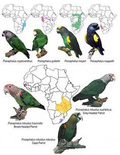 Cape parrot (Poicephalus robustus), Brown-necked parrot (Poicephalus fuscicollis fuscicollis), Grey-headed parrot (Poicephalus fuscicollis suahelicus), Ruppell's (Pocephalus rueppelli), Meyer's (Poicephalus meyeri), Jardine's (Poicephalus gulielmi), and Brown-headed (Poicephalus cryptoxanthus).