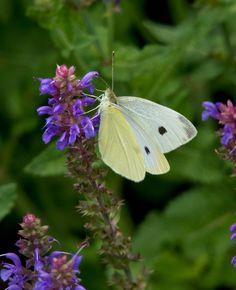 https://flic.kr/p/UmTg6r | Cabbage White Butterfly