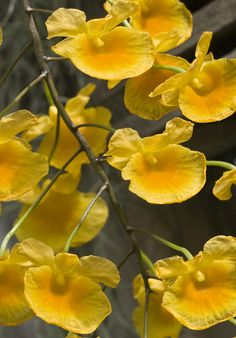 Dendrobium lindleyi ; by Shotaku, via Flickr