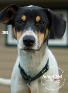 Sue is a 8 month old spayed female Hound mix.  She and her siblings were abandoned on a farm in LA when they were just 6 weeks old.  A little girl found them and nursed them back to health.  They were then transferred to us for the best success at a...