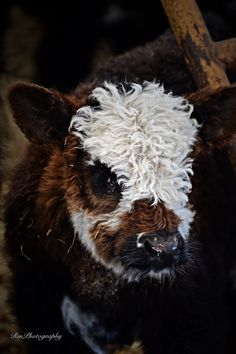 Curly and cute Cute Creatures, Beautiful Creatures, Animals Beautiful, Cute Baby Animals, Farm Animals, Animals And Pets, Wild Animals, Mini Cows, Fluffy Cows