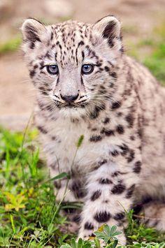 Snow leopard cub - (CC) Emmanuel Keller (Tambako the Jaguar) - www.flickr.com/photos/tambako/5076538264/#