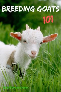 Ready to breed your goats? But before you get to that point there are few things you need to do first. Goat breeding and Goat kidding being the biggest ones. Learn my best tips for each on this your virtual library! Backyard Farming, Chickens Backyard, Breeding Goats, Goat Shelter, Female Goat, Nubian Goat, Goat Care, Raising Goats, Goat Farming